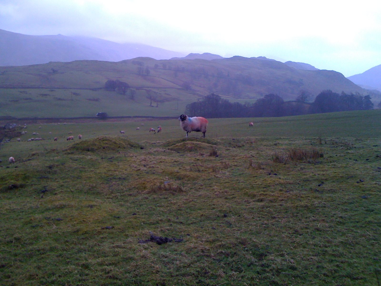 Vista of the Lake District National Park featuring a rather fashionable color-tagged sheep!
